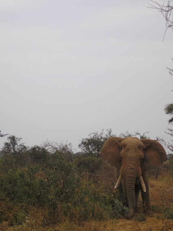 Elephant near Tsavo