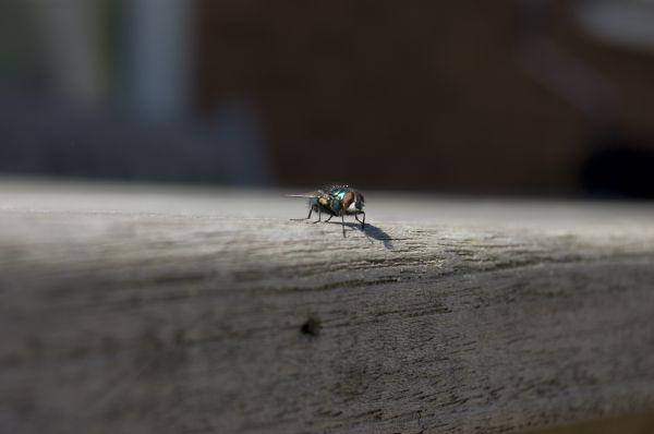 House fly, Fly,