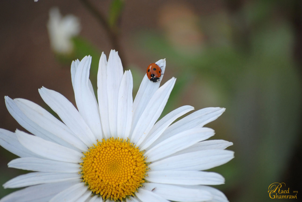 Ladybird on the white spring flower