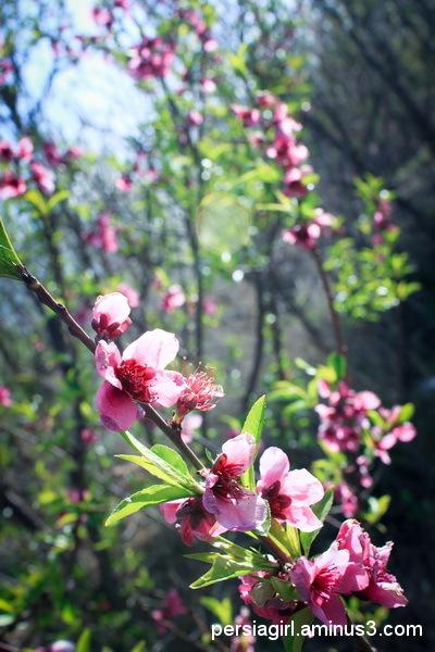 Spring_blossom