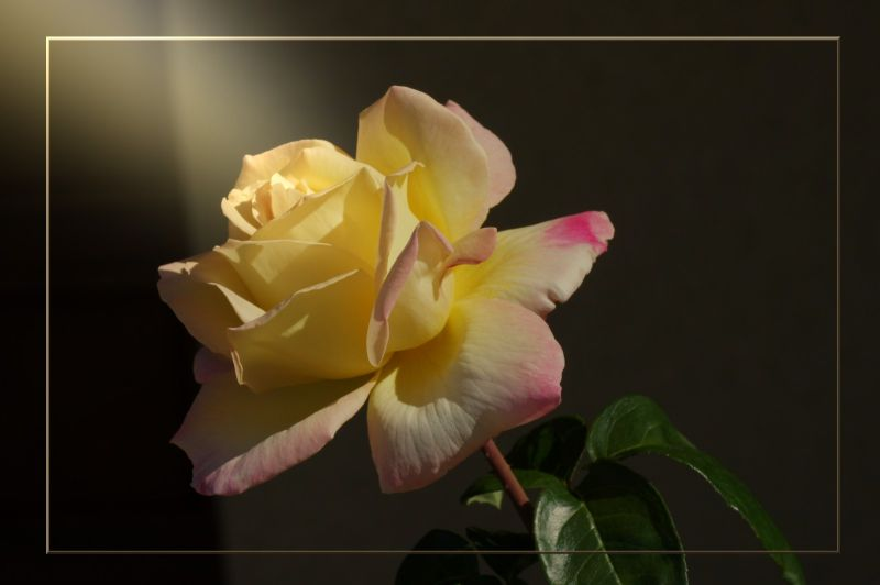 Dernière rose du jardin