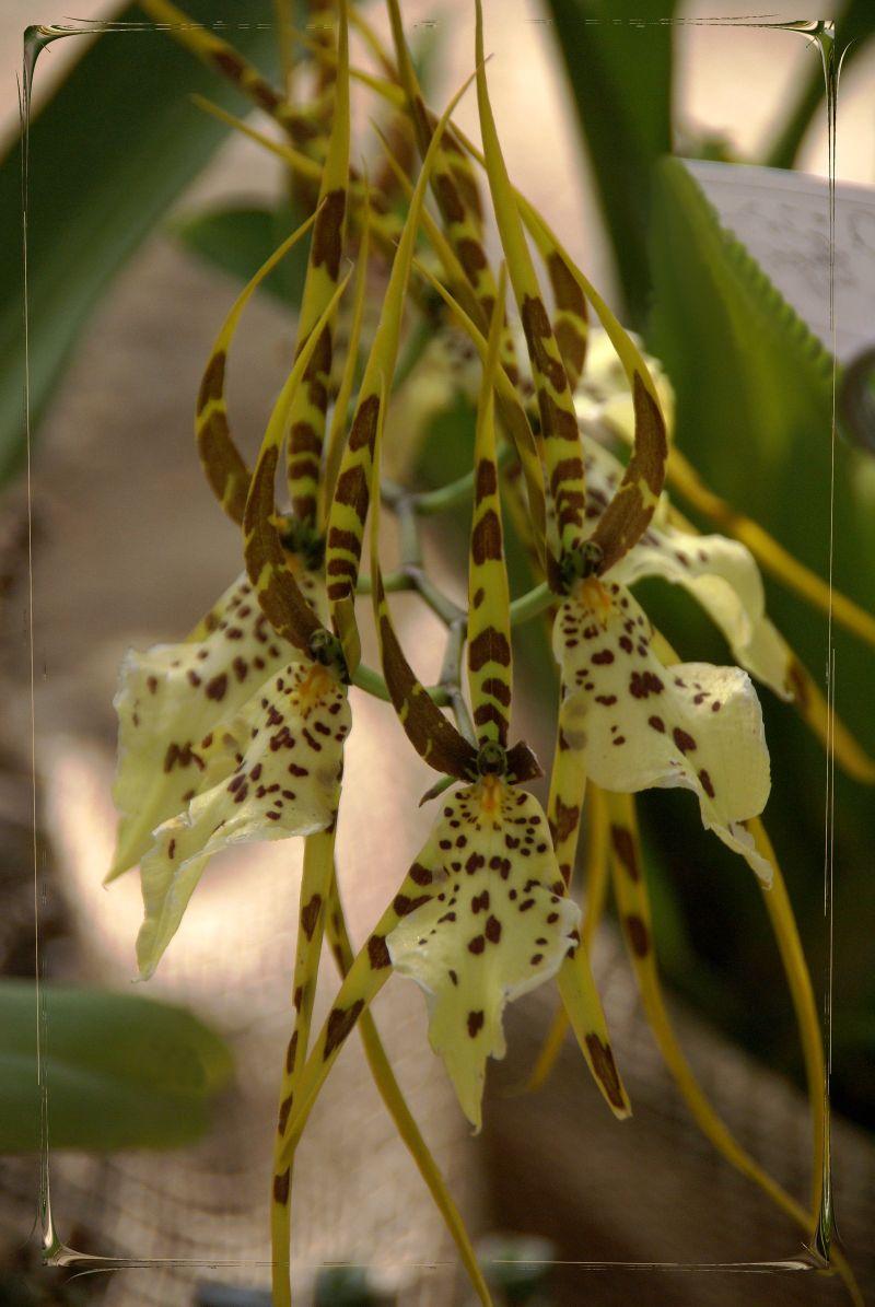 Orchidée - Brassia verrucosa