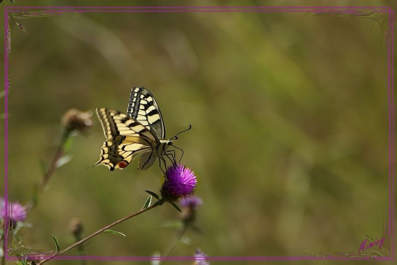 Papillon de chez nous - le machaon
