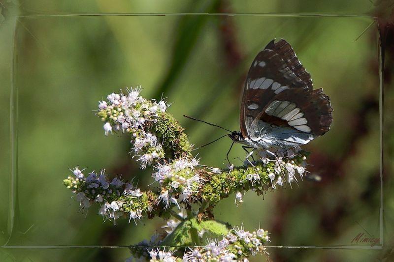 Papillon de chez nous