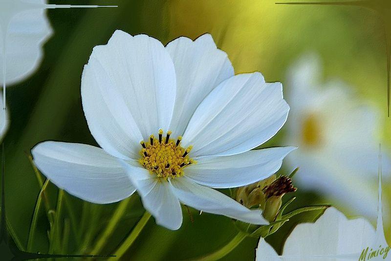 Dernière fleur de cosmos blanc