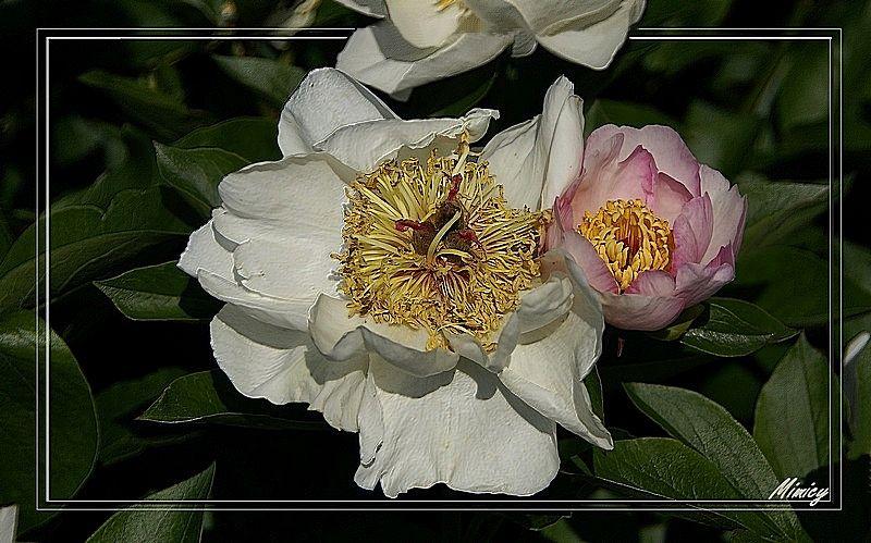 fleur pivoine