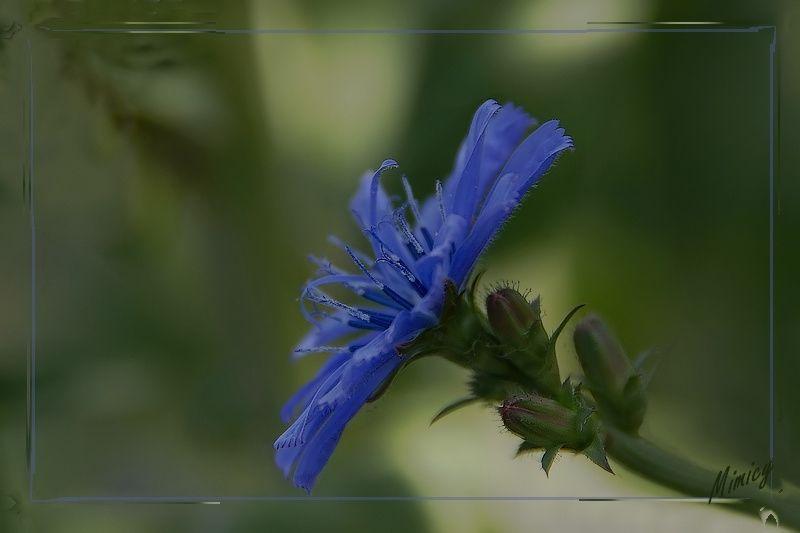 Fleur sauvage - chicorée sauvage