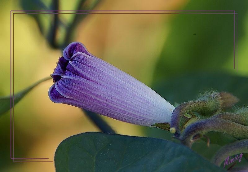 Fleur sauvage - bouton ipomée