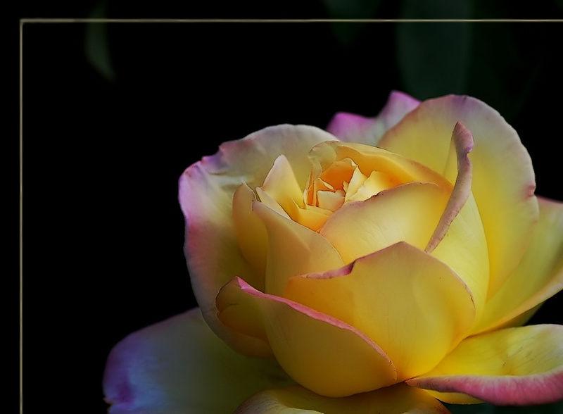 Rose - A Meilland