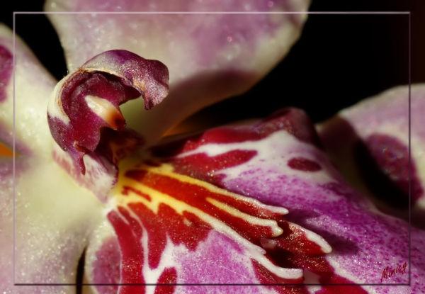 Fleur d'orchidée - Cambria