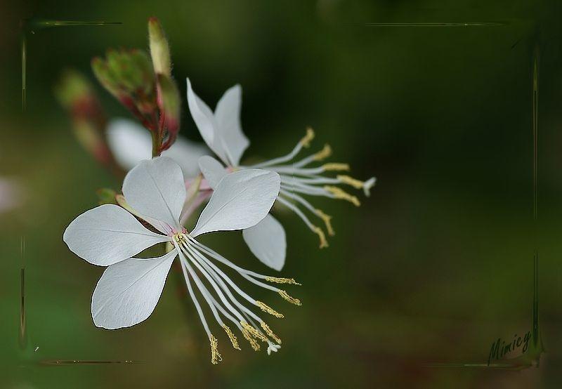 Fleur salvia