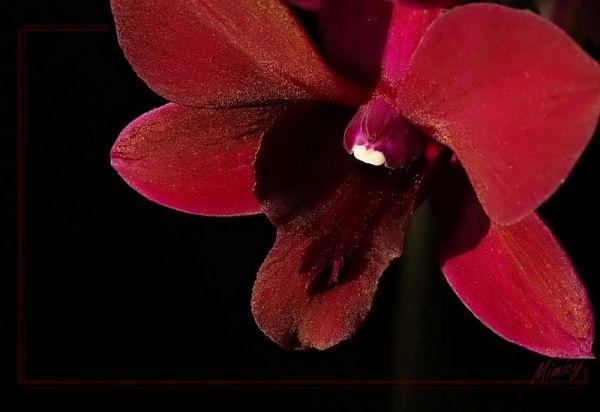 Orchidée -