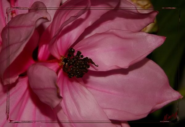 Fleur de medinilla magnifica