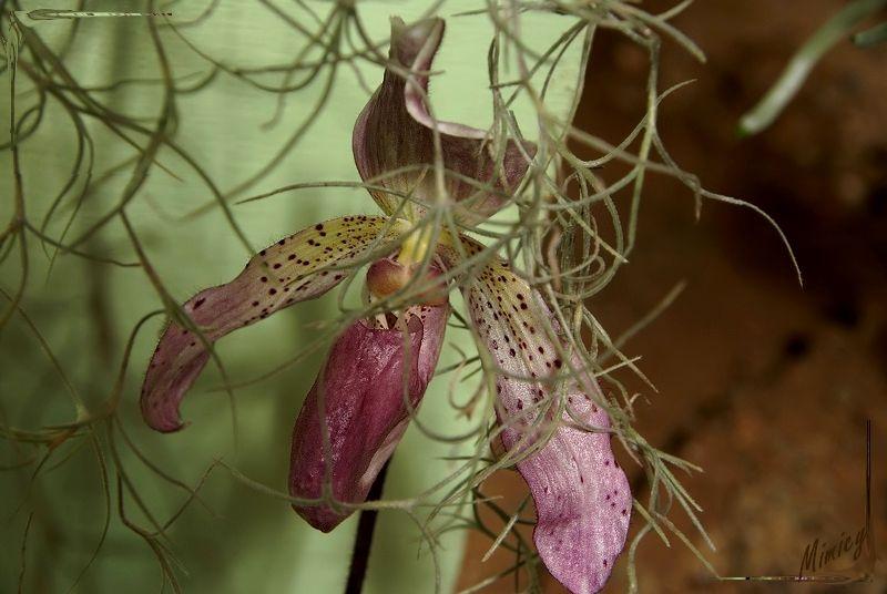 Fleur d'orchidée - paphipédilum