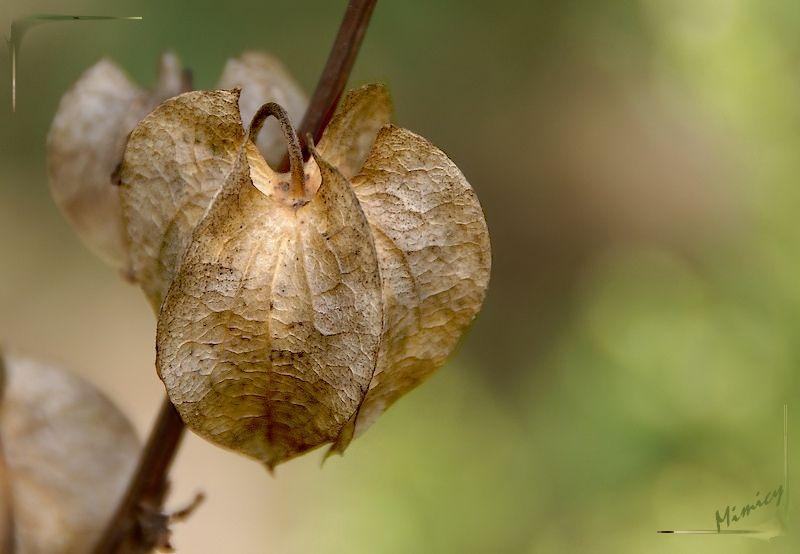 Fleur sauvage sechée