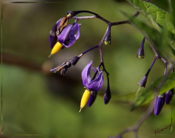 Fleur sauvage - Morelle douce amère
