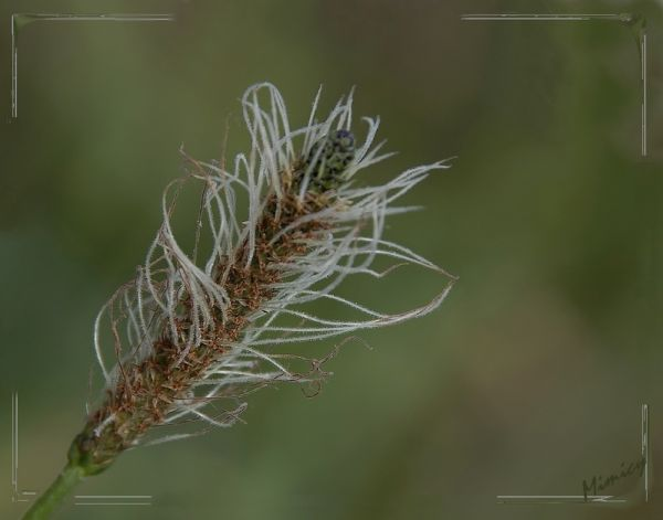Fleur sauvage - plantain intermédiaire