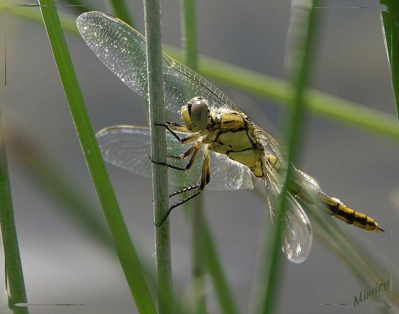 nature sauvage macro libellule