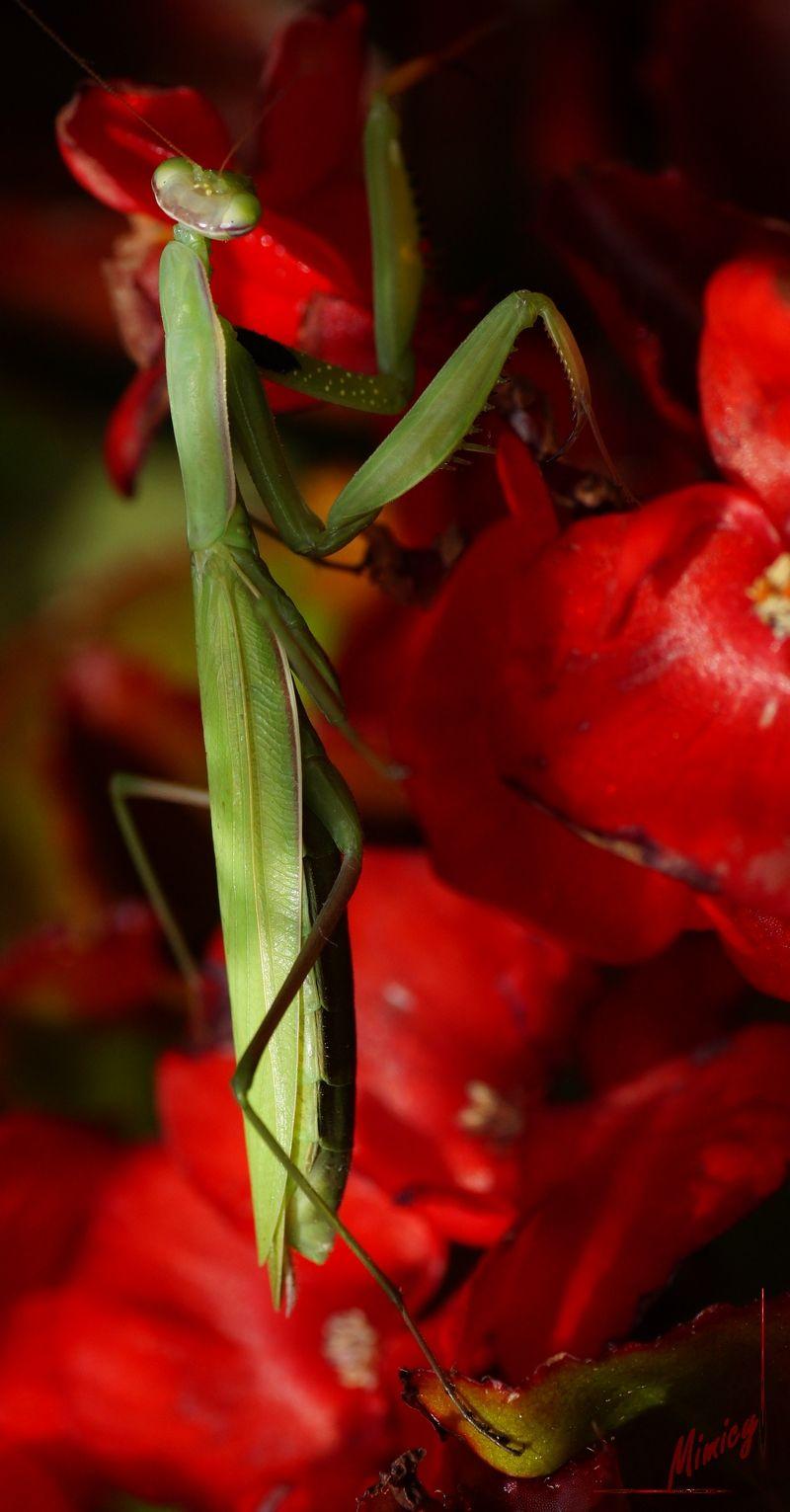 insecte mante religieuse