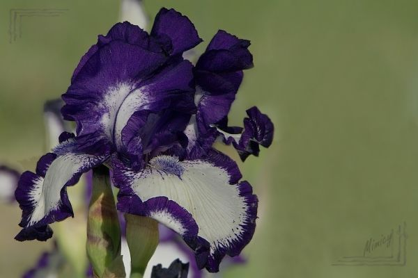 flower fleur nature macro iris