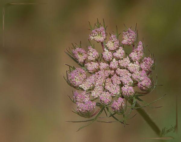 flower fleur sauvage macro
