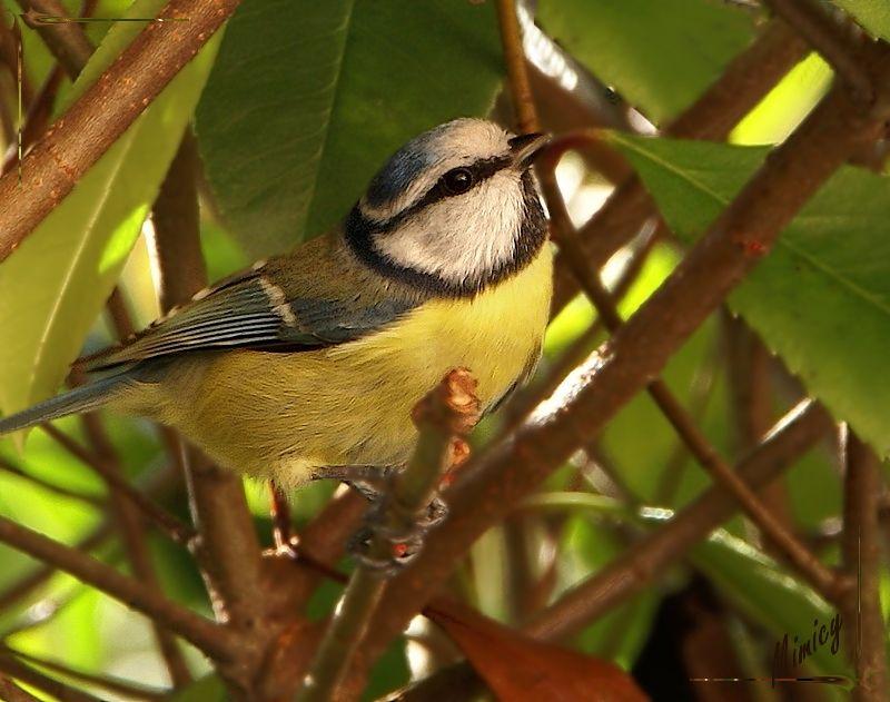 nature sauvage oiseau mésange