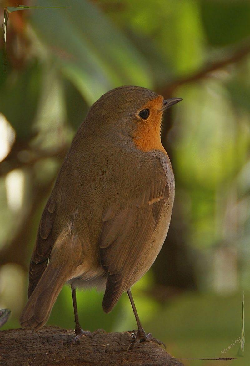 nature sauvage faune oiseau rouge-gorge