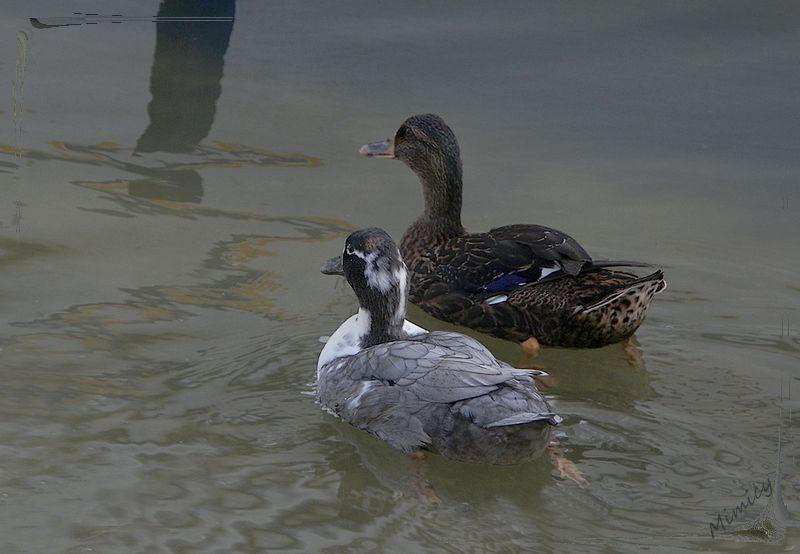 nature sauvage faune canard