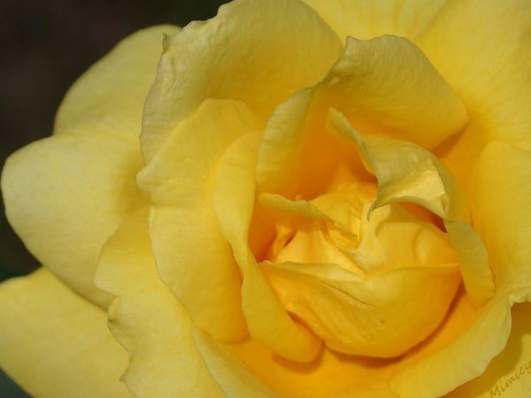 flower fleur macro rose