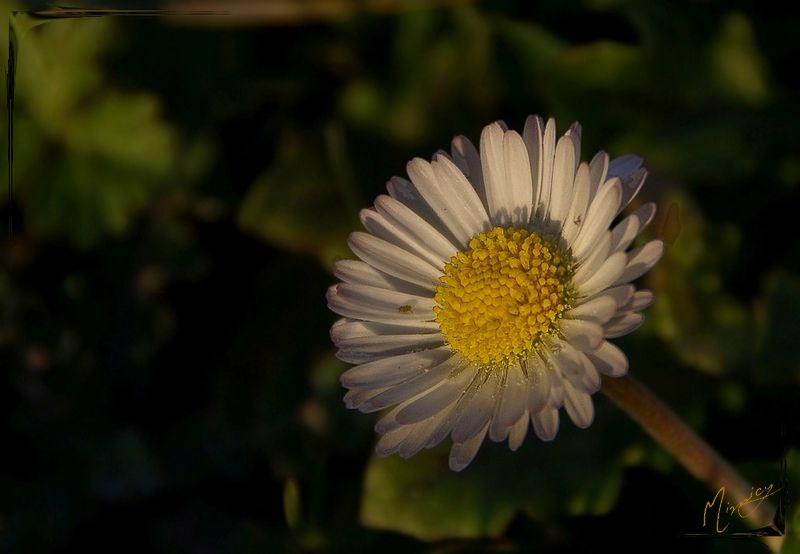 flower fleur nature sauvage paquerette