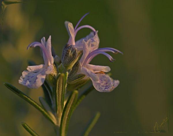 flower fleur nature romarin