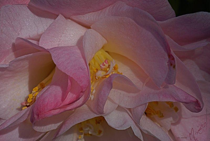 flower fleur nature camélia rose