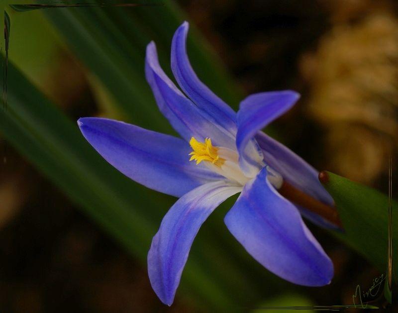 Flower fleur nature chionodoxa luciliae