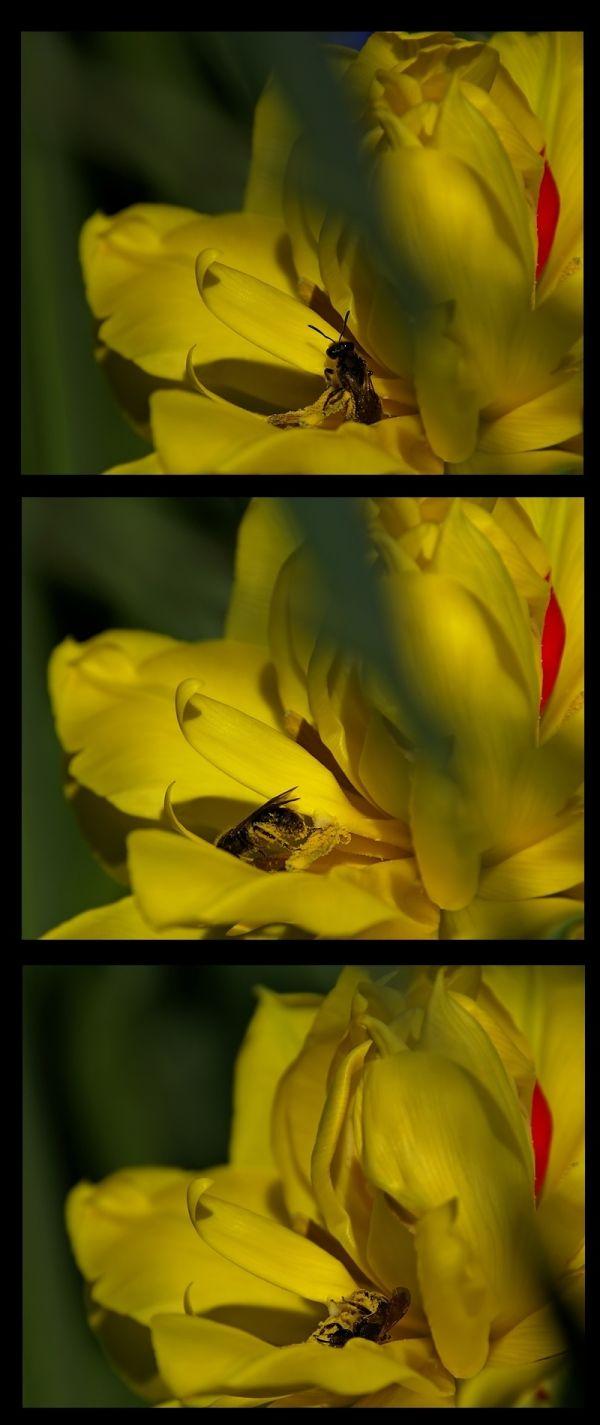 flower nature tulipe abeille repas