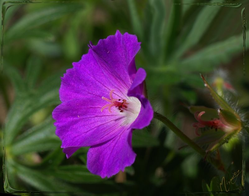 flower fleur nature géranium vivace