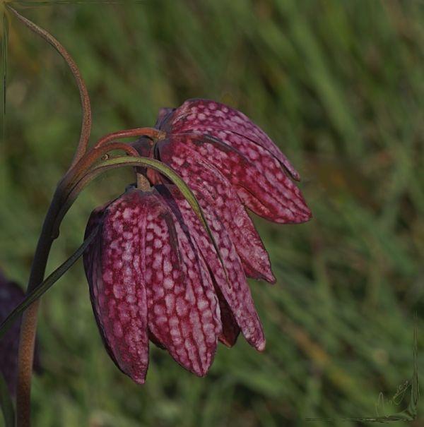 flower fleur nature fritilaire