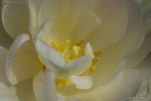 flower fleur nature tulipe