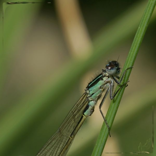 Nature sauvage agrion