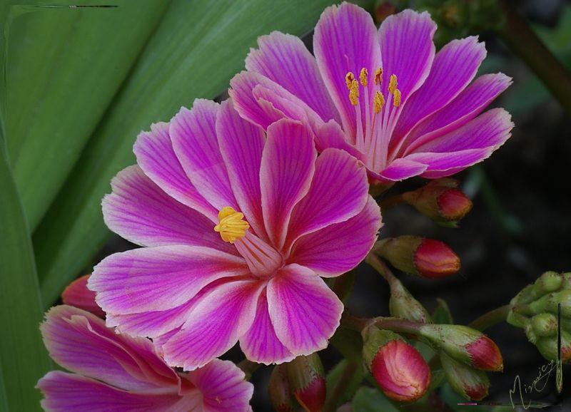 Flower fleur nature lewisia