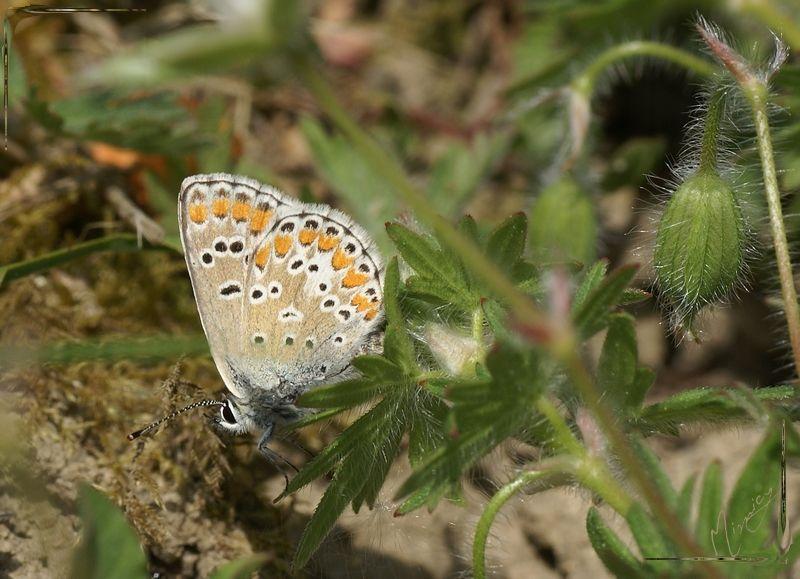 Nature sauvage papillon azuré