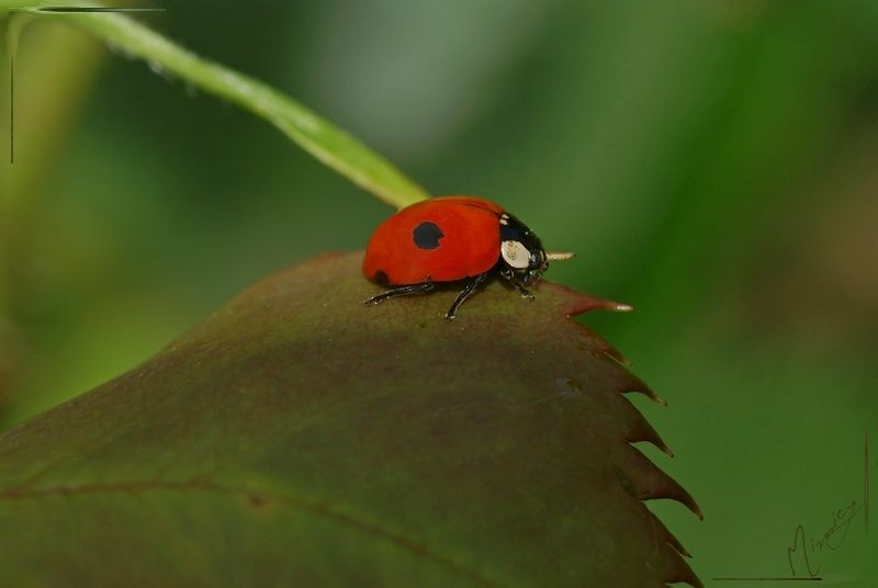 Nature sauvage insecte coccinelle