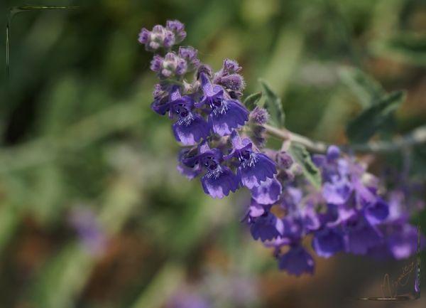 flower fleur nature nepeta