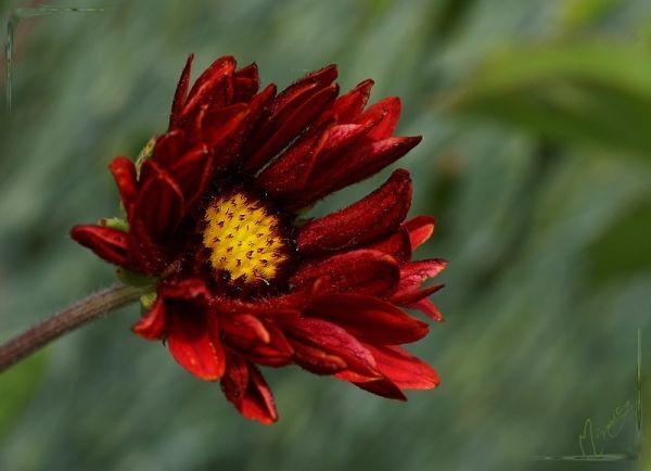 Flower fleur nature gaillarde