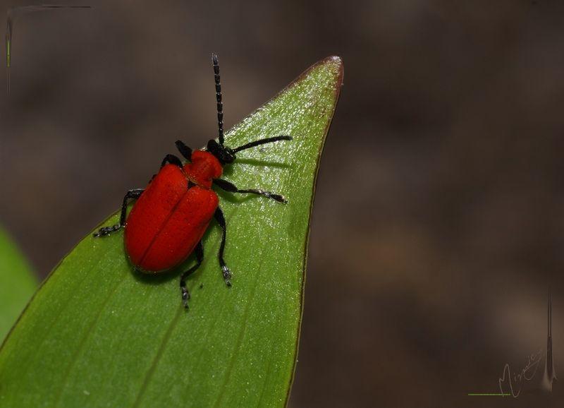 Nature sauvage insecte clytre des saules