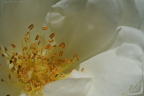 Flower fleur coeur rose