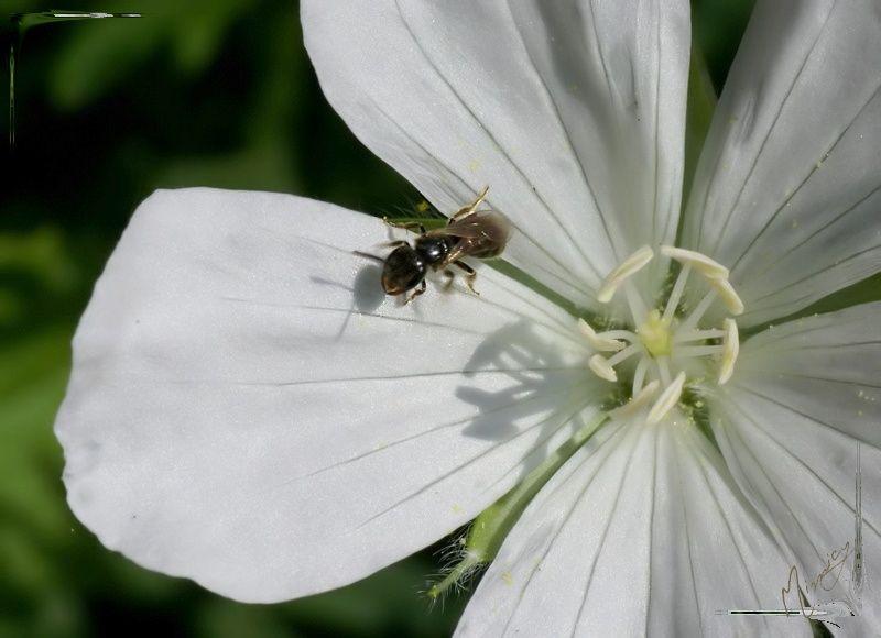 Flower fleur nature géranium vivace blanc