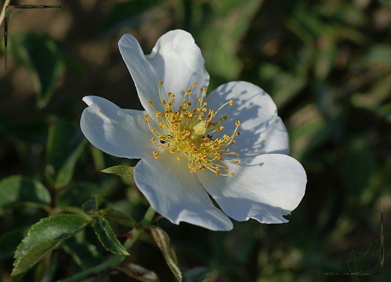 Flower fleur nature sauvage églantier
