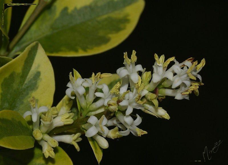 Flower fleur nature troène doré