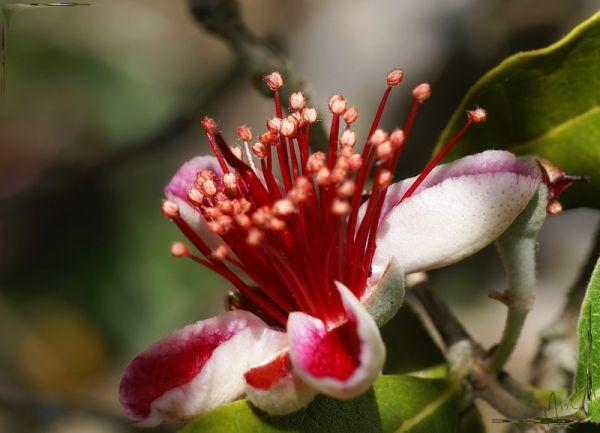 Flower fleur nature feijoa