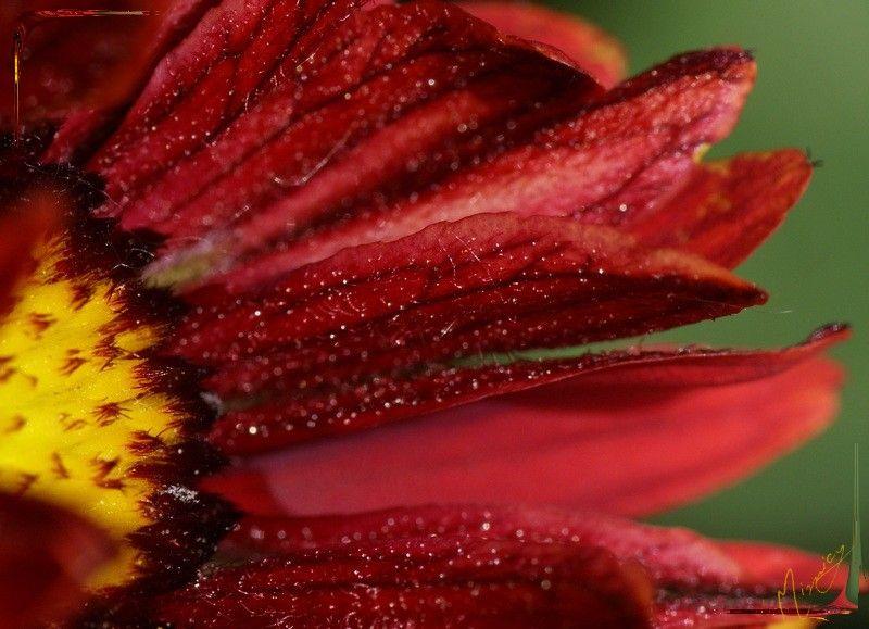 Flower fleur nature gaillarde royale